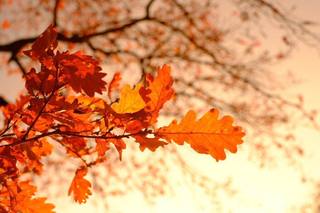 oak-leaves-3851313